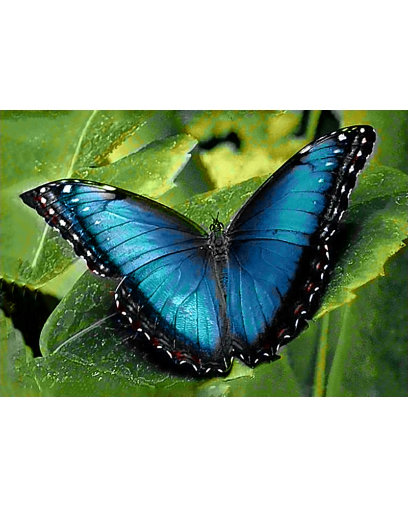 Blue Morpho WD055