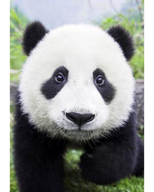 Curious Panda WD074